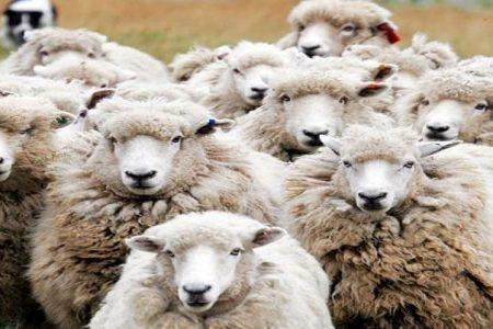 Palermo, il killer delle pecore: uccisi 120 ovini a un allevatore