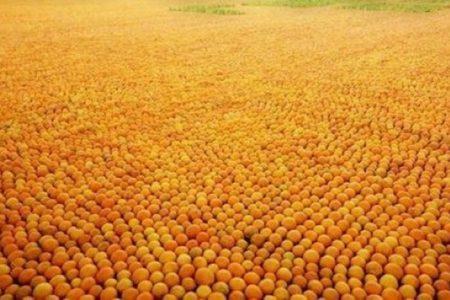 """Agrumi siciliani, allarme per il virus """"Citrus tristeza"""". Il presidente di Federagrumi: pochi controlli sull'import"""