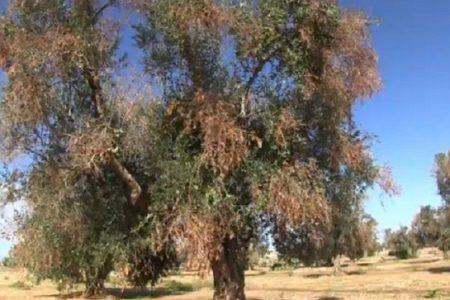 Xylella, la stangata dell'Ue alla Puglia: gli ulivi vanno abbattuti, anche quelli non infetti