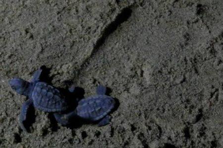 Ambiente, le tartarughe hanno scelto la Sicilia…