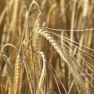 La battaglia del grano: così la speculazione uccide i produttori del Sud