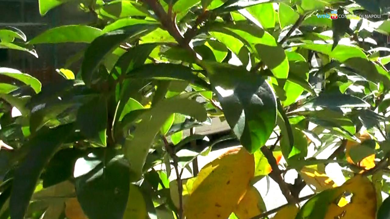 Indagine a tappeto sullo stato di salute dei 40mila alberi napoletani