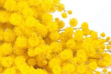 8 marzo, una donna su quattro acquista da sola le mimose