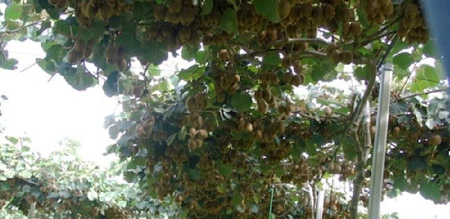 Gioia Tauro, emergenza kiwi: allarme per il batterio-killer