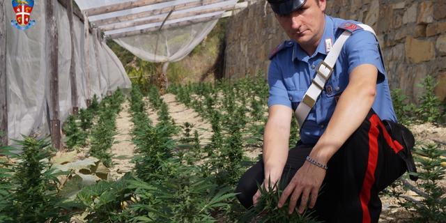 Reggio Calabria, sequestrata una piantagione di marijuana