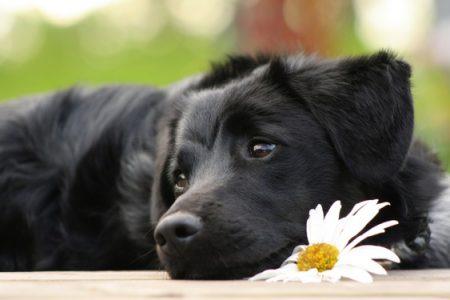Mai dare cioccolata al cane, ecco perchè