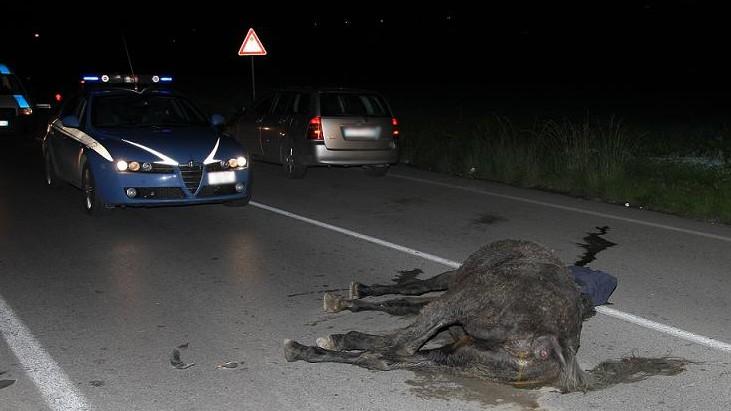 Foggia, un cavallo sulla statale provoca un incidente: un morto