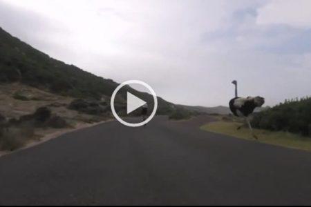 Incredibile, ciclisti inseguiti da struzzi arrabbiati