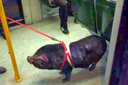 Si porta un maiale al guinzaglio nel treno: pagherà il biglietto