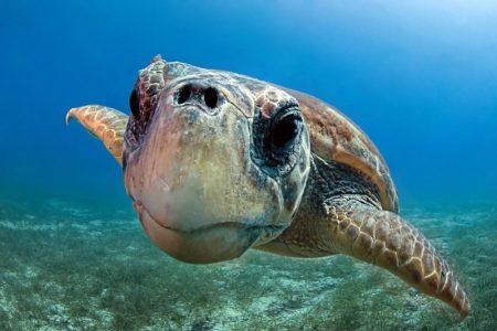 """Le belle storie. Salvata in mare, torna a nuotare la tartaruga """"Achille"""""""