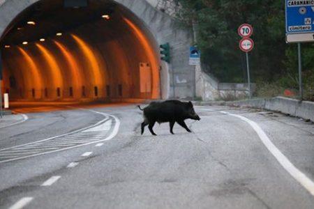 Cinghiali in autostrada, travolti dalle auto nove animali