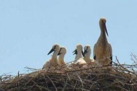 Le cicogne bianche sono tornate: ecco il nido sul traliccio di Sala Consilina