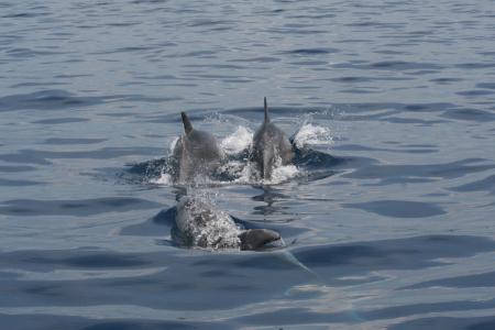 I delfini a Capri