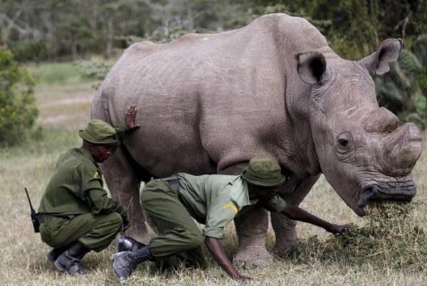 Morto l'ultimo rinoceronte bianco rimasto al mondo