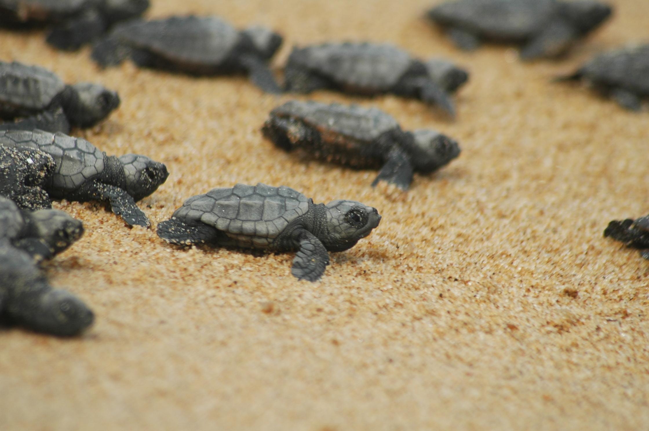 Sulle spiagge italiane l'invasione delle baby tartarughe: 6mila nascite in un anno