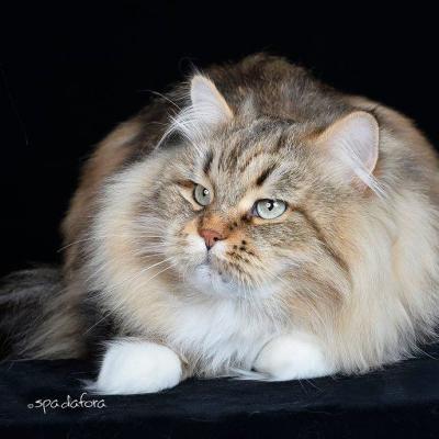 Gattomania 2018, Ritorna l'Esposizione Internazionale Felina con oltre 200 esemplari tra i più belli al mondo
