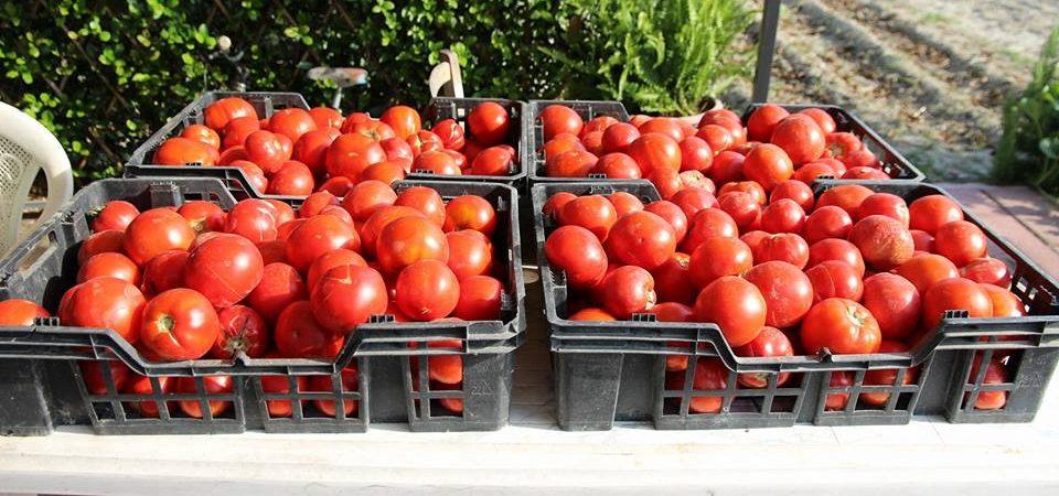 La cucina della Campania, come si fanno le amate bottiglie di pomodoro