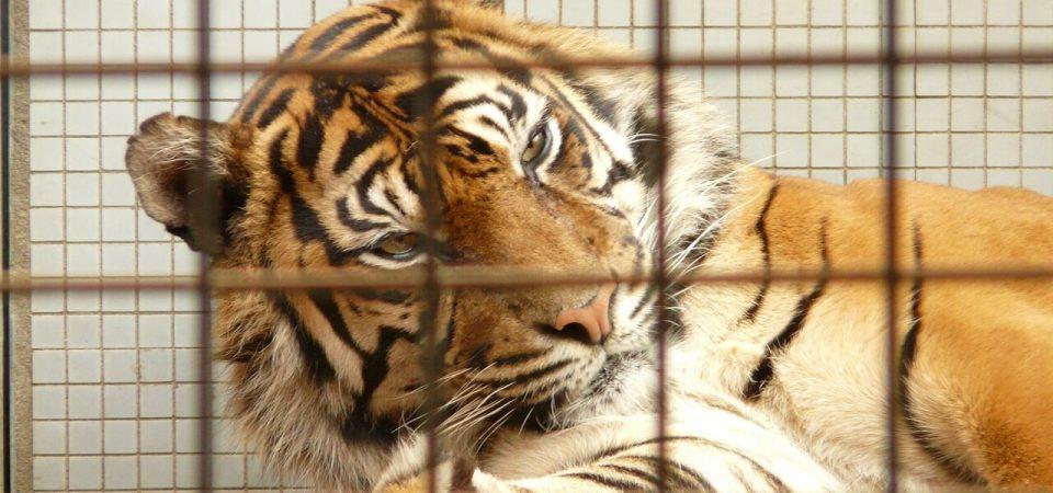Dramma nel circo, domatore sbranato da quattro tigri