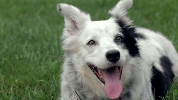 Addio a Chaser, il cane più intelligente del mondo
